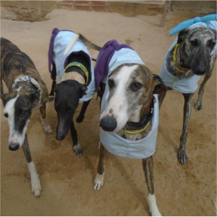 4 rescued Greyhounds