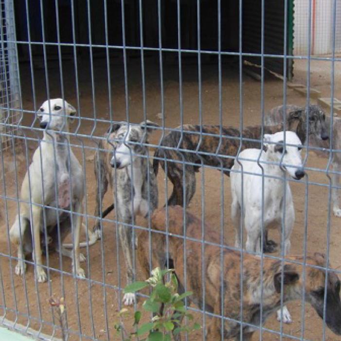 Four Greyhounds in kennals
