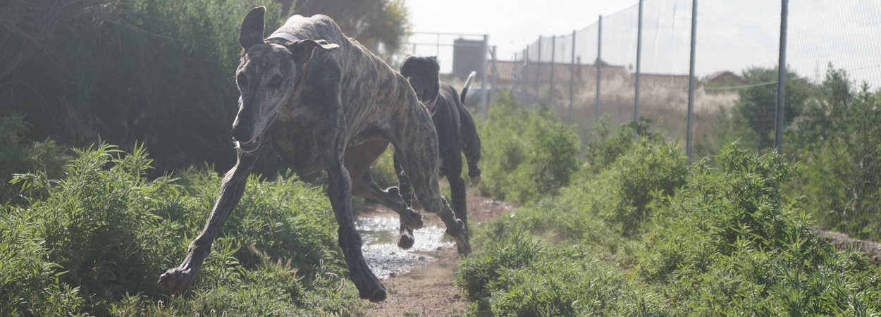 spanish greyhounds and galgos running in a pen