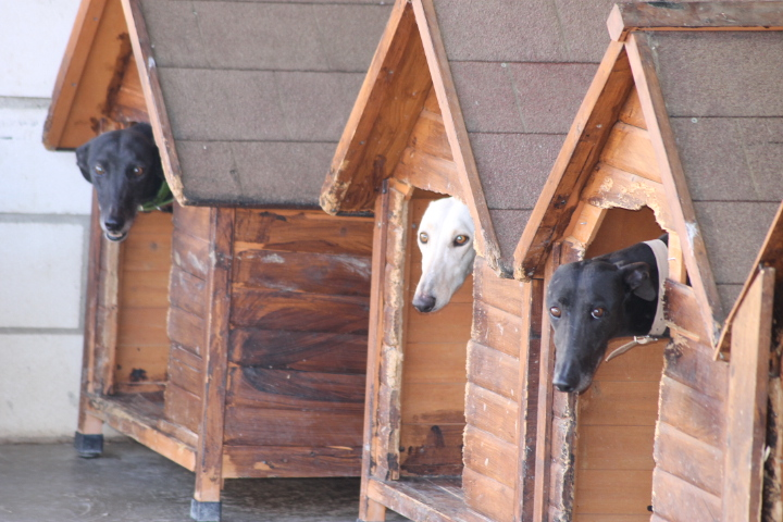 Galgos  peering out of their kennels