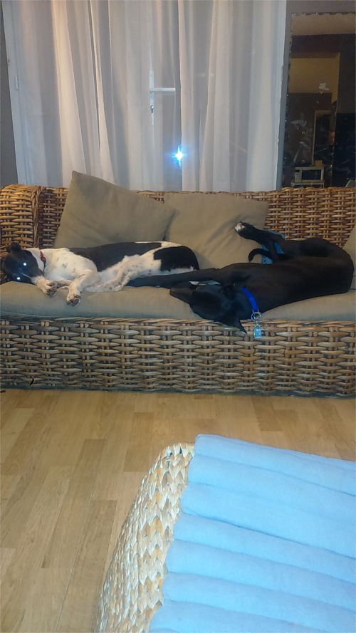 Homing Gallery II - Bugsy and Rosie, ex-racers from the UK, now homed together in France