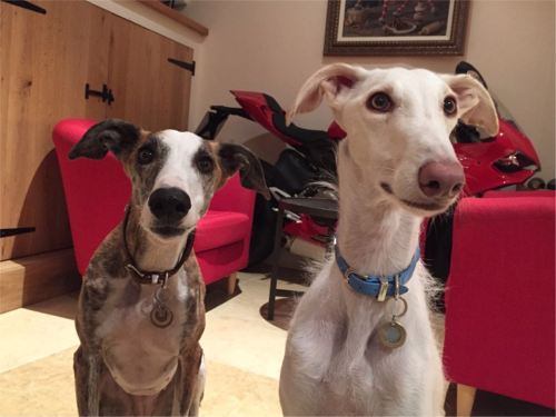 Homing Gallery II - Daisy (left) and Ronaldo homed together in Oxfordshire