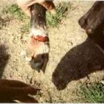 Caught in a fox trap near Medina. The trap is illegal. The dog was lucky as he did not lose his foot as others have.