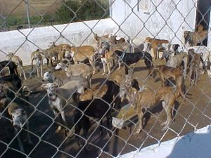 97 galgos are in 60 sq m