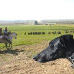 Galgo Coursing Spain