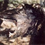One Galguero told me that the dogs do not suffer when they are hanged. Look at this face. What do you think?