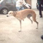 """This is Dos Patas (""""Two Legs""""). Fermin traveled 1000kms to pick up this bitch from Cuenca. Her owner tried to shoot her because she was pregnant, but succeeded only in blowing off two of her legs. She gave birth to her pups in the street where she lived a further six months. When Fermin picked her up she was pregnant again. She was always a wonderfully loving dog and bore no grudge against the human race who had abused her."""