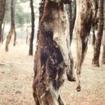 Most hanged dogs are greyhounds but other dogs too suffer the same fate. They may be gun dogs, other hunting dogs, guard dogs or pet dogs. These dogs were found in Arevalo.